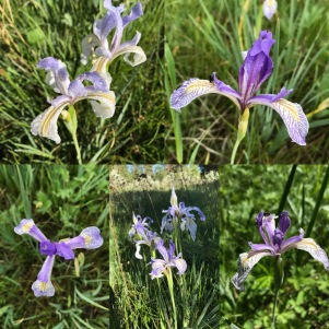 Irises from every angle